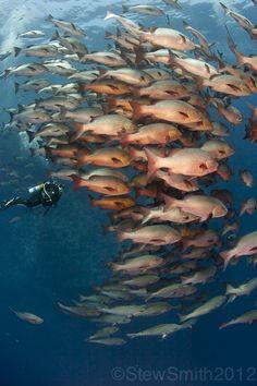 Snapper fish and a diver