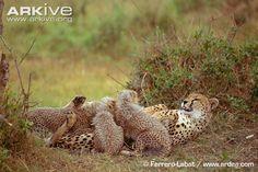 Cheetah photo - Acinonyx jubatus - G4251 | ARKive