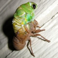 Molting Texas Cicada Nymph Emerging from Its Husk