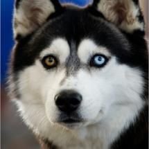 Syberian Husky ( Cubbie when she is older!! Has the same eyes as her!)