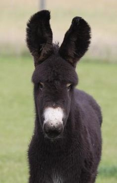 Poitou Donkey jack foal 'Vagabond d'Hamerton'