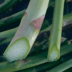 Deeper plantings, thicker asparagus
