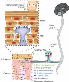 Keratinocytes are critical for normal innocuous and noxious touch through their mechanically evoked ATP release and subsequent signaling to P2X4 channels on sensory neurons.