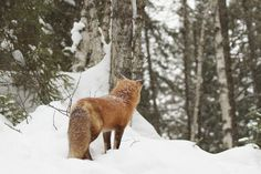 Red foxes spend most of the winter months snuggled up in protected dens (and we can relate). But some days, it's just too nice out to stay inside. Wild Creatures, Woodland Creatures, Animals Beautiful, Cute Animals, Nature Animals, Wild Animals, Red Fox, Winter Months, Snuggles