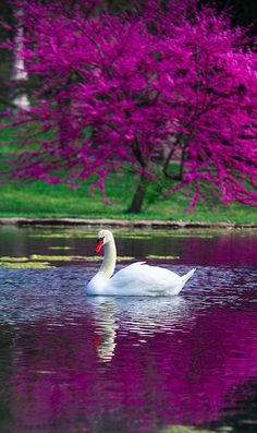"""The Swan,"""" with Yo-Yo Ma. """"Le Cygne illustrates the fleeting nature of beauty, with its interpretation of the legend of the """"swan song."""" This piece soothes and calms me. Beautiful Swan, Beautiful Birds, Beautiful World, Animals Beautiful, Beautiful Places, Beautiful Pictures, Spring Grove Cemetery, Swans, Belle Photo"""