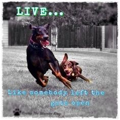 The Doberman Pinscher is among the most popular breed of dogs in the world. Known for its intelligence and loyalty, the Pinscher is both a police- favorite Animals And Pets, Funny Animals, Cute Animals, Doberman Pinscher, Funny Dogs, Cute Dogs, Doberman Shepherd, Doberman Love, Doberman Puppies