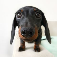 Dachshund Puppies: Cute Pictures And Facts - Dogtime Dachshund Breed, Dachshund Funny, Dachshund Love, Daschund, Dapple Dachshund, I Love Dogs, Cute Dogs, Clever Dog, Weenie Dogs