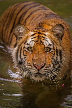 Ashley Vincent – Nature Impressions » Tigers