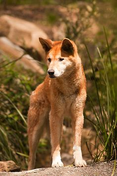 Australian Dingo - Canis dingo - Found in Australia - Regarded as a subspecies of the domestic dog.