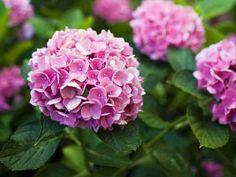 Use felt to recreate the beauty of a full hydrangea blossom. Hydrangea Care, Hydrangea Flower, Hydrangeas, Lilacs, Organic Gardening, Gardening Tips, Gardening Vegetables, Flower Gardening, Garden Plants