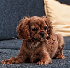 How is it possible to find within one breeds character, the trait that, they never know that they're little and yet never grow old?... (Cavalier King Charles Spaniel - puppy).