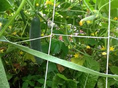 I removed all the pea plants from the trellis yesterday.  I can't complain, I harvested at least 8 pounds of peas!  This opened things up a bit allowing sun to reach the chard and beets planted below the A-frame trellis, and the cucumbers hanging from the other side.