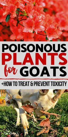 If you raise goats eventually you will deal with plant toxicity. Learn about poisonous plants for goats so you can prevent your goats from getting sick. Raising Farm Animals, Raising Goats, Goat Playground, Keeping Goats, Goat Pen, Goat House, Goat Care, Nigerian Dwarf Goats, Baby Goats