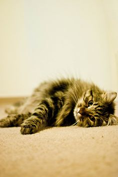 This is a Maine Coon, aka the only kind of cat I will ever have.  It's basically a dog trapped in a huge cat's body.--This is my favorite cat, too. FC