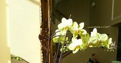 Para novatos en el cuidado de las orquídeas en casa, como cuidar una orquídea nueva y/o sana, tambien como devolverles la vida y hacerlas florecer. Gardening, Plants, Tasty Food Recipes, Lawn And Garden, Plant, Planets, Horticulture