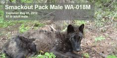 US Fish & Wildlife Service: Protect Wolves in Idaho and Montana!!! http://www.thepetitionsite.com/takeaction/775/062/055/
