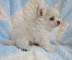 AKC Longcoat cream chihuahua puppy