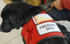 SCOTT PARKHenrietta, a black Labrador puppy, is being trained to be a hospital therapy dog.
