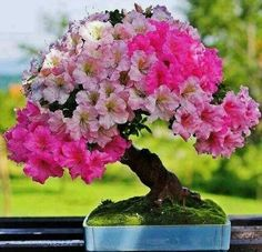 Flowers And Garden Ideas : Flowering Bonsai (Resim & Fotograf) Ikebana, Plantas Bonsai, Bonsai Garden, Garden Plants, Tree Garden, Outdoor Plants, Terrarium Cactus, Mini Plantas, Bonsai Azalea