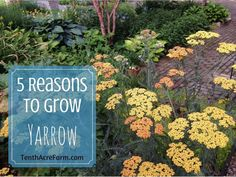 Yarrow is a flowering herb with many uses medicinally and in the permaculture garden. Here are 5 reasons why you will benefit from growing yarrow.