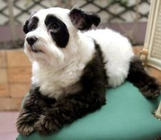For some odd reason today we've had a strange infatuation with pandas. That's why we put together this list of 10 dogs that look like pandas. note — There& nothing odd about being infatuated with pandas, especially when they& dogs in disguise. Dog Hair Dye, Dog Dye, Love My Dog, Baby Animals, Funny Animals, Cute Animals, Wild Animals, Costume Chien, Panda Puppy