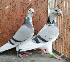 Pigeon Pictures, Pigeon Breeds, Homing Pigeons, Pigeon Loft, Palomar, Best Stocks, Black Diamond, Pet Birds, Pakistan