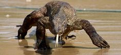 Komodo Dragon - Yaranus komodoensis - Reaching a length of 6.5-9.25' (2-3 m) and weighing up to 155 lb (70 kg), sometimes double the weight in captivity, this member of the family Varanidae is the world's largest lizard.