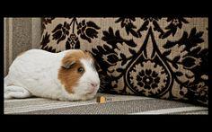 Wiggley aka Mozart. #guineapigs #cavy
