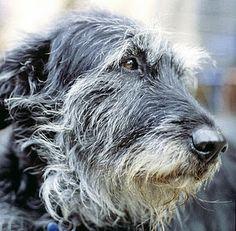 Desktop wallpapers Irish Wolfhound dog face - photos in high quality and resolution Irish Wolfhound Puppies, Irish Wolfhounds, Pet Dogs, Dogs And Puppies, Scottish Deerhound, Irish Terrier, Dog Id, Irish Setter, Fauna