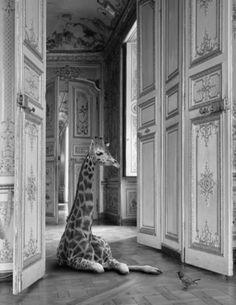 Giraffe in a beautiful room