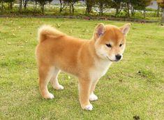 柴犬 - Google 検索