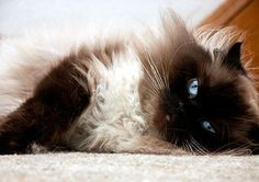 A Relaxed Cat with Blue Eyes