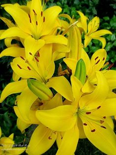 Yellow Asiatic Lilies ~ Blooms of the Day! (Garden of Len & Barb Rosen)