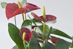 Antúrio: o antúrio é famoso por suas folhas em formato de coração e pelas flores coloridas – tradicionalmente vermelhas, mas também encontradas em rosa, amarelo, branco e, até, preto ou verde. Devido a modificações genéticas, seu tamanho pode variar de menos de 20 cm a mais de 1,50 m. Friorenta, é uma espécie que apresenta sinais de sensibilidade quando o termômetro marca abaixo dos 12 ºC.