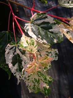 Acer rubescens Silver Cardinal - An incredibly beautiful variegate, this maple also has pink and purple striped bark! Silver Cardinal is very hardy and fast growing, this tree will reach 10 feet in 8 years. Also listed in literature as A. conspicuum Silver Cardinal. Hardy to 0 degrees. USDA zone 7