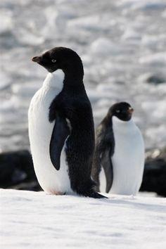 Penguins!  | penguingifts.net