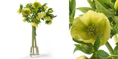 Helleborus queens Yellow