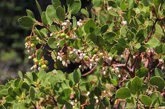 Greenleaf Manzanita (Arctostaphylos patula)