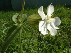 Silene alba Seeds £1.80 from Chiltern Seeds - Chiltern Seeds Secure Online Seed Catalogue and Shop