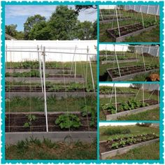 My Garden! Vining vegetables planted 4/16/13. (top right) Is pumpkins and cantaloupe. (2nd from top ) Is two different kinds of watermelon. (2nd from bottom) is zucchini and crooked neck squash. (bottom) Sun Flowers and eggplant. (left) all 4 boxes.