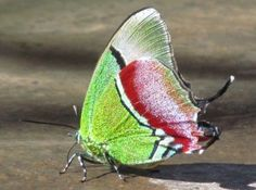 Regal Hairstreak Butterfly