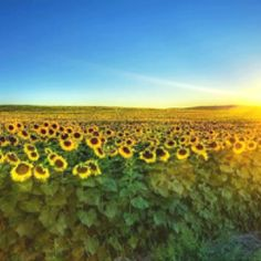 Love sunflowers:) Reminds me of my grandad.
