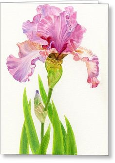 Pink Iris With Leaves On White Greeting Card by Sharon Freeman Акварельный Пейзаж, Акварельные Цветы, Акварельные Картины, Акварели, Розовая Живопись, Ботанические Иллюстрации, Натюрморт, Акварель, Рисунки На Холсте