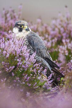 """fairy-wren:"""" Peregrine Falcon by joeelway"""""""