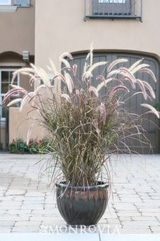 Pennisetum Setac Rubrum; Full sun; occasional watering; Moderate growing 2 to 4 ft. tall, 2 to 3 ft. wide.