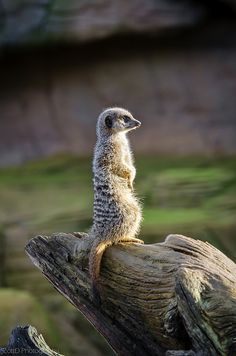 """Meercats are mammals that live in colonies by the thousands. Meercats have social structure similar ants and termites. A """" Royal Couple"""" decides where they go to eat, drink, and where they live."""