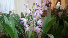 Orchidea kiállítás - Vajdahunyad vára 2016.03.12.
