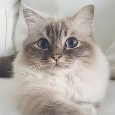 Image uploaded by Hannah. Find images and videos about cute, beautiful and lovely on We Heart It - the app to get lost in what you love. Cute Cats And Kittens, Cool Cats, Kittens Cutest, Animals And Pets, Baby Animals, Cute Animals, Pretty Cats, Beautiful Cats, Photo Chat