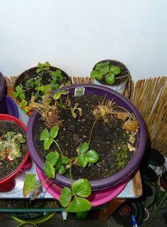 Gemüse & Naschen: Erdbeerpflanzen bekommen neue Blätter