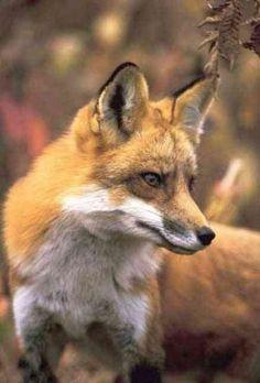 Fox Lined Journal (Notebook / blank book)